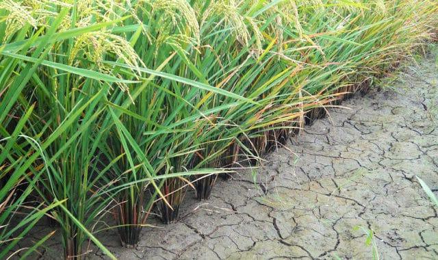 HAITI Rice Farmers and GATOR PUMP